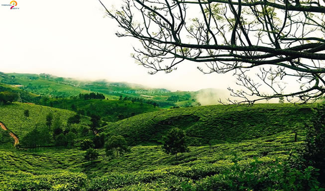 Tea-estate-Kotagiri