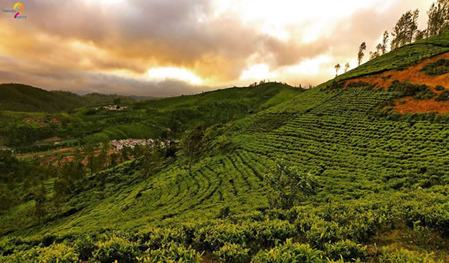 Tea-estate-Nilgiri