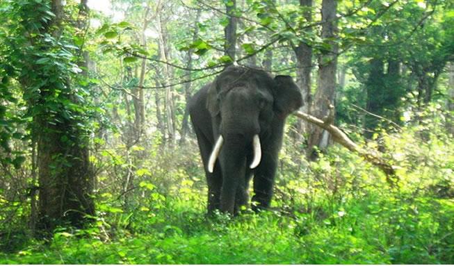 mudumalai-wild-elephant