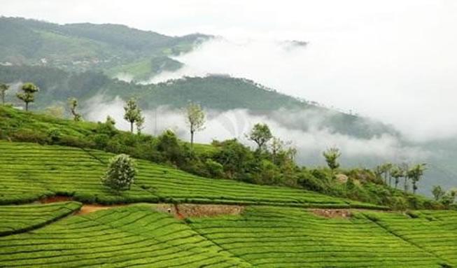 ooty-nilgiris-tea-garden