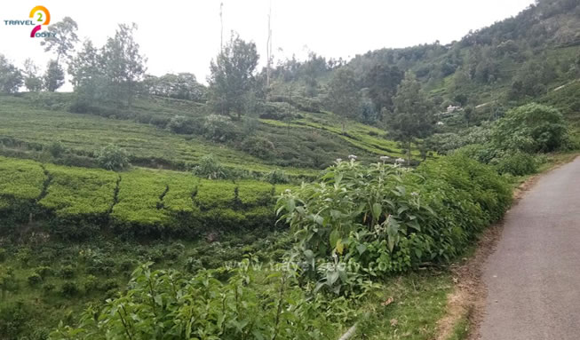 ooty tea estate view