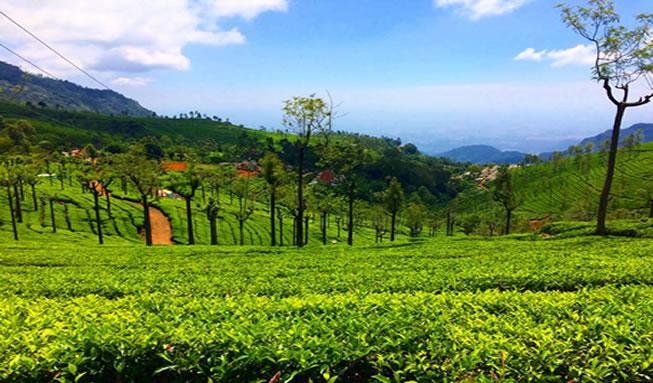 ooty tea plantation1