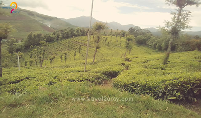 tea estate emerald ooty