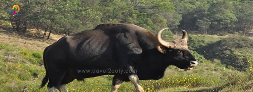 bison animal spot in avalanche ooty