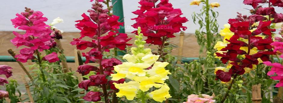 flowers in ooty gardens