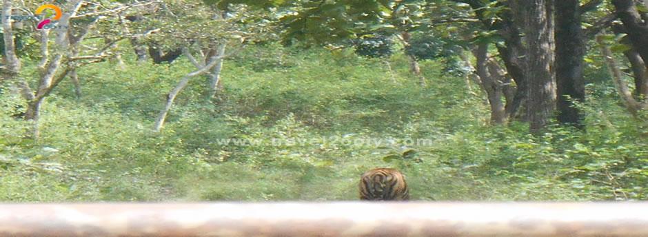 mudumailai tiger