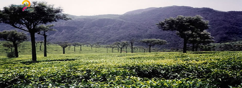 gree tea estate